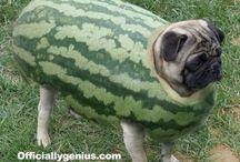 Watermelon Pugs