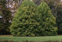 habitus dřevin