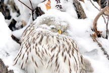 Owl (フクロウ)