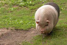 Dejlige svin