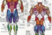 The body muscles