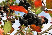 Fekete Berkenye / Különösen erős antioxidatív potenciál rejlik a #fekete #berkenyében.