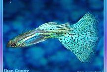 gappy fish