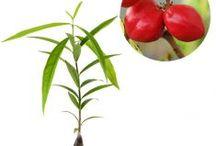 Maag dan Nyeri Lambung / Semua tanaman dalam board ini bisa dikirim keseluruh Indonesia, silahkan order ya, tel: 0341-599399 I SMS center: 08569020300 atau kunjungi website kami www.kebunbibit.id