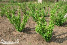 ягодные кусты