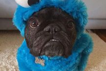 Cookie monster pugs