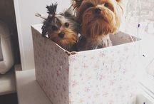 Yorkies & other cuties