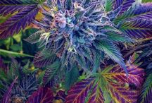 Grow Cannabis Outdoors / Everything about weed
