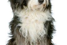 bearded collie bobtail