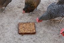 Chickens / by Cindy Beckett-Bustos