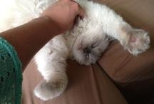 My ragdoll cat Minxi