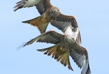 A Pair Red Kite Birds