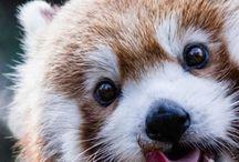 Red Panda :3