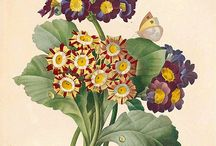 Plants - Primula / Photos of the wide variety of primulas