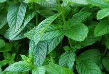 Plantes et arômes