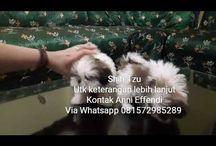 Von Javelline Kennel jual anjing Shih-Tzu di Bandung