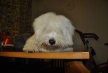 Coton de Tulear / Coton de Tulears are sweet dogs!