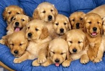 Cute Golden Retriever Puppies / by Cordie Turck