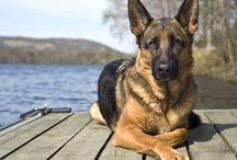 German Shepherd Dogs / Il pastore tedesco (o pastore alsaziano) è sicuramente una delle razze di cani più diffuse al mondo, e sicuramente la più famosa. Tra le persone soprattutto di una certa età, gli esemplari di tale razza vengono anche definiti 'cani lupo', data la loro somiglianza nonché probabile discendenza da questi ultimi. I pastori tedeschi sono animali dalle caratteristiche fisiche molto riconoscibili: sono di taglia medio-grande, hanno in genere un corpo muscoloso e slanciato che conferisce loro grande eleganza nei movimenti, hanno portamento fiero, muso allungato, cranio cuneiforme e ben proporzionato e occhi a mandorla. Hanno mascella e mandibola molto forti, e un collo e un dorso assai robusti. Ne esistono diverse tipologie: i più comuni sono senz'altro quelli a pelo corto, che in genere sono di colore nero con sfumature beige. Esistono poi anche pastori tedeschi a pelo lungo, le cui colorazioni variano dal fulvo, al marroncino, al grigio, al nero, e vi sono finanche dei pregiatissimi esemplari completamente bianchi.