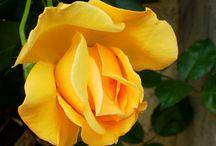 Rosas / Flores, rosas
