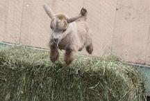 Pygmy Goats / Pygmy Goats