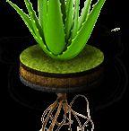 All about Aloe Vera / Οι θαυματουργές ιδιότητες της Αλοης Βέρα www.aloespot.gr