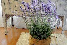 Lavendel / Lavender / Lavande