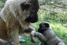 Caucasian shepherd :)