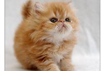 Katt  - Perser  - Creme