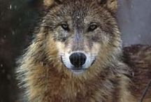 Wolf / The beauty and energy of wolves.