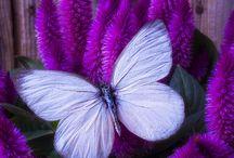 Butterflies as Art