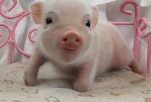 Cutes pigs