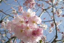 Prunus - Spring Flowering Cherry Trees