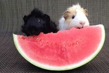 Guinea Pigs / Cute Guinea pigs, Big Guinea pigs, Small Guinea pigs, In all shapes and all sizes!