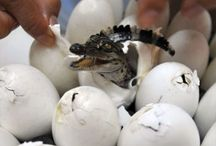 Alligators & Crocodiles / Here are pictures, articles and interesting information about alligators and crocodiles!