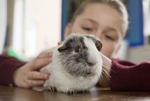Adopt a Rescued Guinea Pig Month (March) / Guinea pigs are rewarding pets when cared for properly. Many can be found in rescues and shelters around the world, waiting for their forever home.