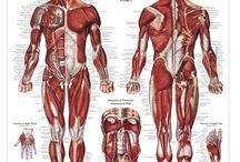 Nurse Musculus