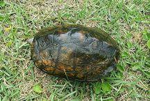 Japanese Pond Turtle / 日本石亀