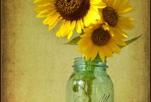 SunFlower / Sunny sunflower shines my soul