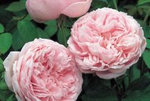 Peonies / My favorite flower. Reminds me of being with my grandma when I was small. / by Susan DeLucca