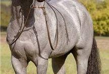 Konie Blue Roan