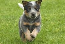 Adorable Dogs / I have an Australian Cattle dog, the best breed I have ever owned!