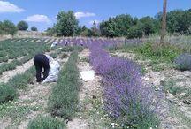 Θερισμός της λεβάντας / Η διαδικασία της συγκομιδής του αρωματικού φυτού και της απόσταξης του αιθέριου ελαίου λεβάντας