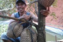 bibit durian bawor jawa timur