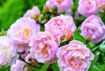 růže.- roses