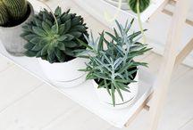 Kaktüs-succulent