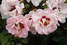 Hague International Rose Trials