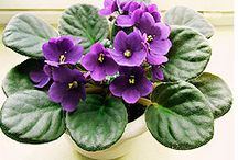 Flowers - African Violet / I took two of my mother's African Violets and by rooting leaves I have many violets.  This is my special plant. / by suza wag