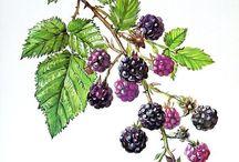 blackberry drawibgs