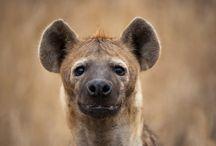 Predators in Kruger National Park